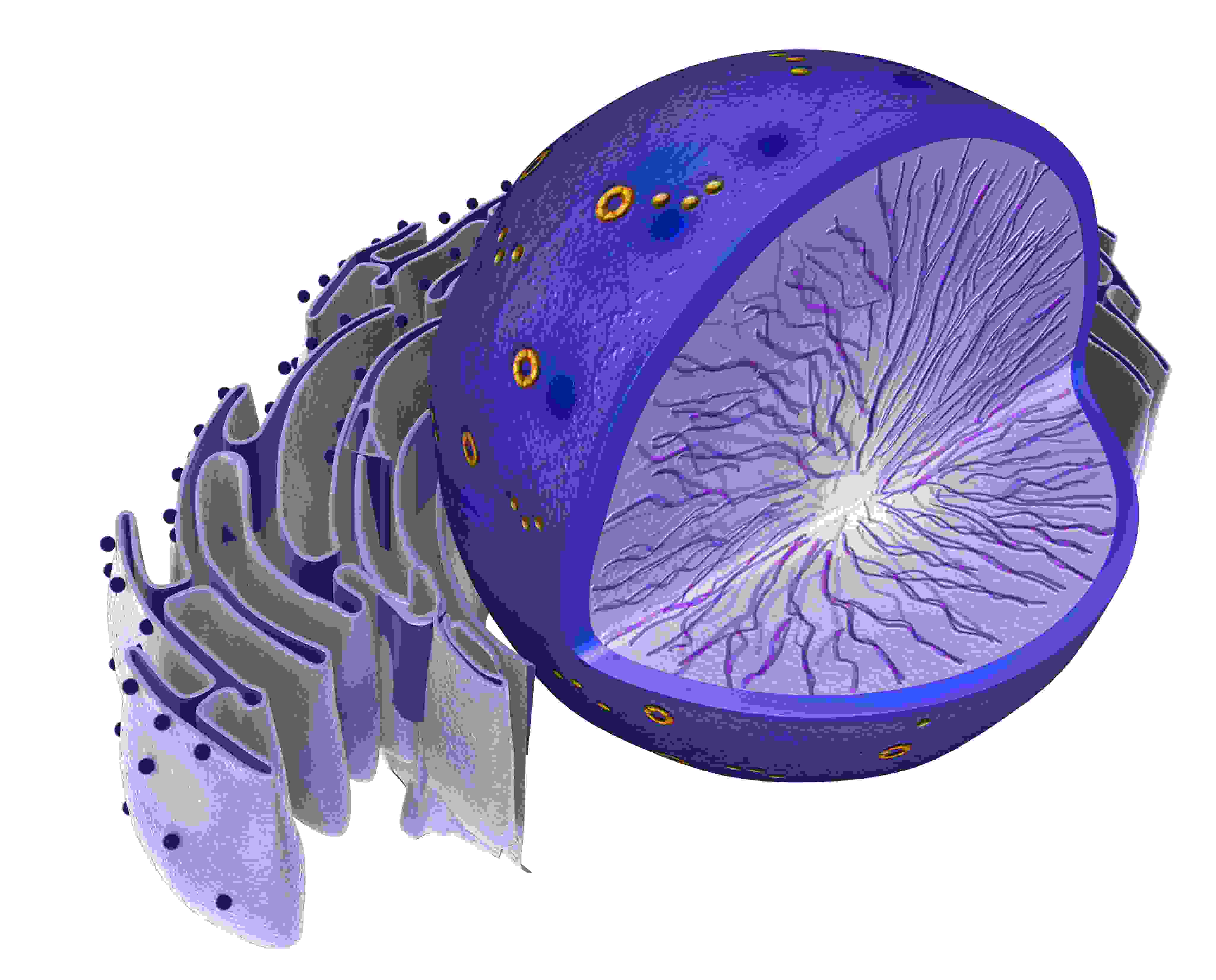 Cell Nucleus - Biology Questions and Answers