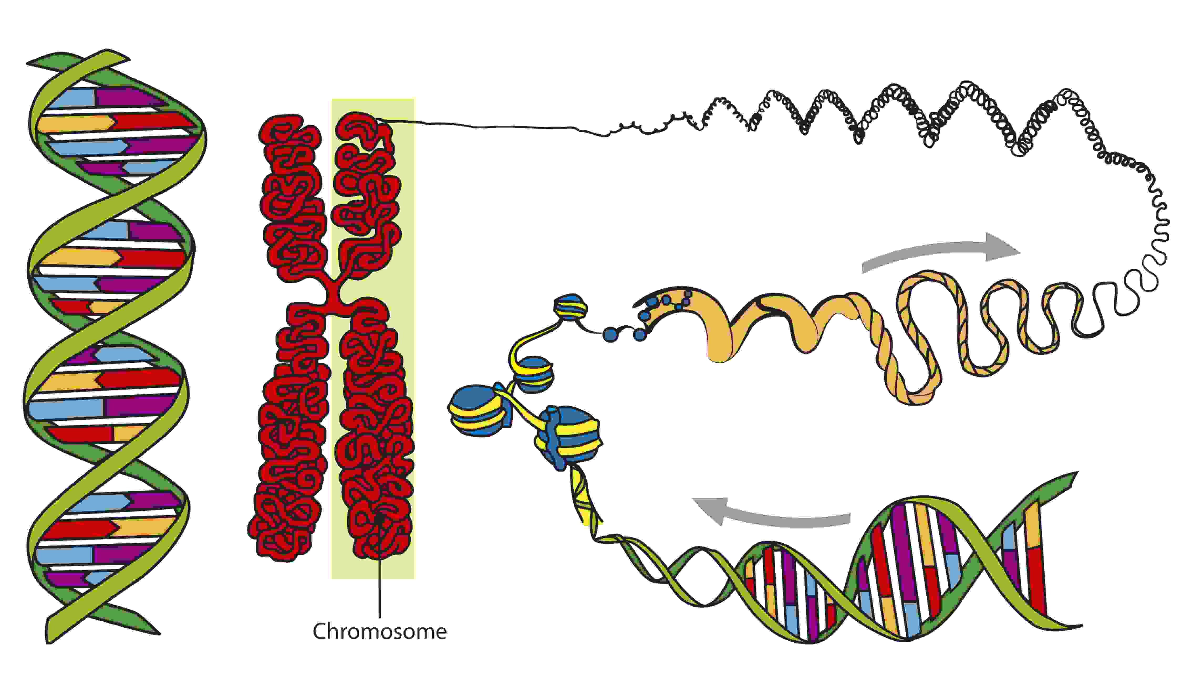 an analysis of nucleic acids and protein synthesis in dna